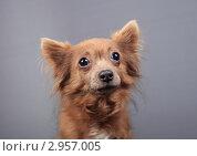 Купить «Портрет собаки с большими глазами», эксклюзивное фото № 2957005, снято 21 сентября 2018 г. (c) Яна Королёва / Фотобанк Лори