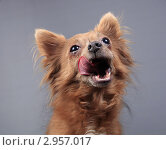 Купить «Портрет облизывающейся собаки», эксклюзивное фото № 2957017, снято 21 сентября 2018 г. (c) Яна Королёва / Фотобанк Лори