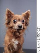 Купить «Портрет маленькой коричневой собачки», эксклюзивное фото № 2957021, снято 21 сентября 2018 г. (c) Яна Королёва / Фотобанк Лори