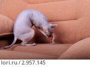 Купить «Кошка породы Донской сфинкс играет с мышкой», фото № 2957145, снято 21 сентября 2018 г. (c) Яна Королёва / Фотобанк Лори