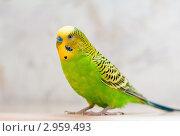 Купить «Портрет волнистого попугая», эксклюзивное фото № 2959493, снято 11 ноября 2011 г. (c) Игорь Низов / Фотобанк Лори