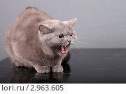Купить «Разъяренная Британская кошка», фото № 2963605, снято 24 февраля 2018 г. (c) Яна Королёва / Фотобанк Лори