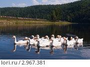 Деревенские гуси в горной речке. Стоковое фото, фотограф хлебников алексей / Фотобанк Лори