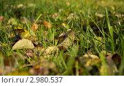 Осенние листья на зеленой траве. Стоковое фото, фотограф Елена Фомичева / Фотобанк Лори