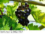 Виноград на лозе. Стоковое фото, фотограф Александр Петров / Фотобанк Лори