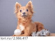 Купить «Очаровательный пес с новогодней игрушкой», эксклюзивное фото № 2986417, снято 19 сентября 2018 г. (c) Яна Королёва / Фотобанк Лори