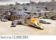 Купить «Зубастый крокодил на крокодиловой ферме пристально смотрит в камеру», фото № 2995581, снято 16 декабря 2010 г. (c) Николай Винокуров / Фотобанк Лори