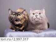 Купить «Две замечательные кошки», эксклюзивное фото № 2997317, снято 15 ноября 2018 г. (c) Яна Королёва / Фотобанк Лори