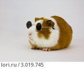 Морская свинка в темных очках. Стоковое фото, фотограф Елена Фомичева / Фотобанк Лори