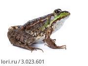 Лягушка озерная, Marsh Frog, Rana ridibunda. Стоковое фото, фотограф Василий Вишневский / Фотобанк Лори
