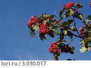 Ягоды боярышника на фоне голубого неба. Стоковое фото, фотограф Евгения Шийка / Фотобанк Лори