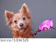 Купить «Портрет собаки и цветок розовой орхидеи», эксклюзивное фото № 3034529, снято 15 ноября 2018 г. (c) Яна Королёва / Фотобанк Лори