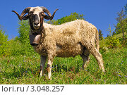 Купить «Баран на летнем пастбище», фото № 3048257, снято 26 мая 2011 г. (c) Швадчак Василий / Фотобанк Лори