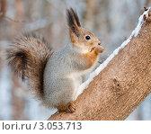 Купить «Белка сидя на дереве грызёт семечки», эксклюзивное фото № 3053713, снято 16 ноября 2011 г. (c) Игорь Низов / Фотобанк Лори