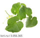 Купить «Зеленый росток дыни на белом фоне», фото № 3056365, снято 1 сентября 2011 г. (c) Артем Поваров / Фотобанк Лори