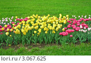 Тюльпаны на клумбе. Стоковое фото, фотограф Руслан Хайруллин / Фотобанк Лори