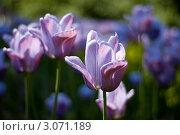 Сиреневые тюльпаны в Таврическом саду. Стоковое фото, фотограф Евгений Калякин / Фотобанк Лори