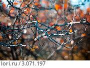 Ветви кустарника осенью. Стоковое фото, фотограф Евгений Калякин / Фотобанк Лори