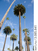 Лос-Анджелес, Калифорния. Большие пальмы (2009 год). Стоковое фото, фотограф Екатерина Федорова / Фотобанк Лори