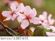 Купить «Цветущая сакура», фото № 3087613, снято 6 мая 2009 г. (c) Николай Охитин / Фотобанк Лори
