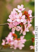 Купить «Сакура. Весна», фото № 3087621, снято 6 мая 2009 г. (c) Николай Охитин / Фотобанк Лори
