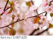 Купить «Цветущая сакура», фото № 3087625, снято 6 мая 2009 г. (c) Николай Охитин / Фотобанк Лори