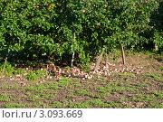 Яблоневый сад, усыпанный попадавшими плодами, в солнечный день. Стоковое фото, фотограф Михаил Треусов / Фотобанк Лори