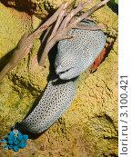Купить «Петербургский океанариум. Ячеистая мурена (Laced moray, honeycomb moray, tesselate moray / Gymnothorax favagineus)», фото № 3100421, снято 29 октября 2011 г. (c) Сергей Дубров / Фотобанк Лори