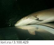 Купить «Петербургский океанариум. Усатая акула-нянька (Nurse shark / Ginglymostoma cirratum) проплывает над прозрачным тоннелем для посетителей», фото № 3100429, снято 29 октября 2011 г. (c) Сергей Дубров / Фотобанк Лори