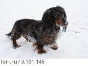 Купить «Длинношерстная мраморная такса в снегу», фото № 3101145, снято 1 января 2012 г. (c) Оксана Лычева / Фотобанк Лори