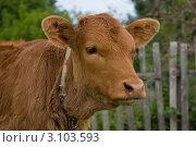 Рыжий теленок. Стоковое фото, фотограф Карева Олеся / Фотобанк Лори