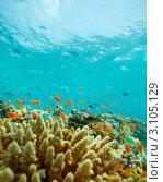 Купить «Мелкие рыбы на коралловом рифе», фото № 3105129, снято 9 июля 2011 г. (c) Сергей Новиков / Фотобанк Лори