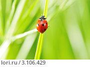 Купить «Божья коровка сидит на траве», фото № 3106429, снято 13 июня 2010 г. (c) Николай Охитин / Фотобанк Лори