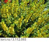 Купить «Цветущий вербейник точечный (Lysimachia punctata)», фото № 3112093, снято 5 июля 2011 г. (c) Заноза-Ру / Фотобанк Лори