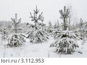 Купить «Молодые сосны занесённые снегом», эксклюзивное фото № 3112953, снято 22 декабря 2011 г. (c) Елена Коромыслова / Фотобанк Лори