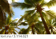 Купить «Большие пальмы», фото № 3114021, снято 19 ноября 2018 г. (c) Виктор Савушкин / Фотобанк Лори