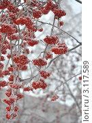 Рябиновые гроздья. Стоковое фото, фотограф Наталья Раковская / Фотобанк Лори