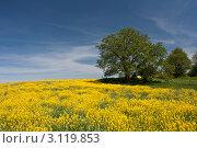 Рапс и деревья. Стоковое фото, фотограф Виктор Зандер / Фотобанк Лори