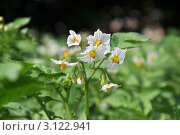 Купить «Цветение картофеля», фото № 3122941, снято 25 июня 2010 г. (c) Лищук Руслан Викторович / Фотобанк Лори
