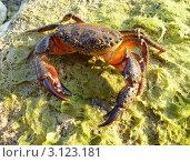 Каменный краб (Eriphia verrucosa) Стоковое фото, фотограф Георгий Чернилевский / Фотобанк Лори