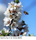 Полет пчелы к цветам. Стоковое фото, фотограф Виниченко Ирина Николаевна / Фотобанк Лори