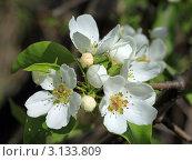 Цветы яблони. Стоковое фото, фотограф Виниченко Ирина Николаевна / Фотобанк Лори
