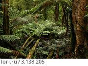 Купить «Высокие папоротники в тропическом лесу, Австралия», фото № 3138205, снято 19 июня 2008 г. (c) Sergey Borisov / Фотобанк Лори