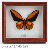 Коллекционная бабочка в рамке за стеклом. Стоковое фото, фотограф Наталия Китаева / Фотобанк Лори