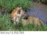 Купить «Пятнистая гиена», фото № 3153793, снято 12 ноября 2011 г. (c) Дмитрий Краснов / Фотобанк Лори