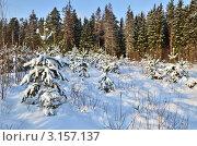 Купить «Зимний пейзаж с молодыми соснами», эксклюзивное фото № 3157137, снято 18 января 2012 г. (c) Елена Коромыслова / Фотобанк Лори