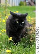 Купить «Черная кошка в траве», фото № 3158585, снято 15 мая 2010 г. (c) Ирина Иванова / Фотобанк Лори