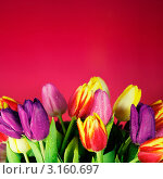 Купить «Мокрые тюльпаны на красном фоне», фото № 3160697, снято 15 января 2012 г. (c) Наталия Кленова / Фотобанк Лори