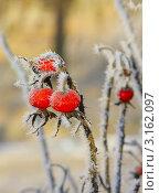 Купить «Иней на ягодах шиповника», фото № 3162097, снято 11 января 2012 г. (c) Татьяна Грин / Фотобанк Лори