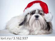 Купить «Ши-тцу в новогоднем колпаке», фото № 3162937, снято 20 декабря 2011 г. (c) chaoss / Фотобанк Лори